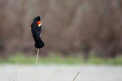 Αρσενικός red-winged κότσυφας που σκαρφαλώνει σε έναν κάλαμο Στοκ εικόνες με δικαίωμα ελεύθερης χρήσης