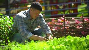 Αρσενικό άτομο αγροτών που ελέγχει την ποιότητα του φρέσκου πράσινου μαρουλιού, σαλάτα, άνηθος στον κήπο, φυσικός οργανικός γεωργ φιλμ μικρού μήκους
