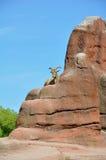αρσενικό αιγών mouflon Στοκ Εικόνες