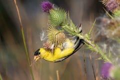 Αρσενικό αμερικανικό goldfinch που τρώει τους σπόρους κάρδων Στοκ φωτογραφία με δικαίωμα ελεύθερης χρήσης