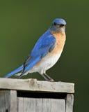 Αρσενικό ανατολικό Bluebird Nestbox Στοκ φωτογραφίες με δικαίωμα ελεύθερης χρήσης