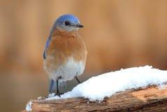 Αρσενικό ανατολικό Bluebird στο χιόνι Στοκ Φωτογραφία