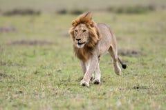 Αρσενικό αφρικανικό λιοντάρι σε Masai Mara, Κένυα στοκ εικόνες