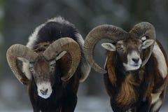 Αρσενικό δύο mouflon το χειμώνα Στοκ Εικόνες