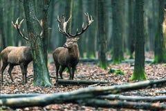 Αρσενικό ελάφι δύο κόκκινο ελαφιών στο αποβαλλόμενο δάσος με τους mossy κορμούς δέντρων Στοκ Φωτογραφίες