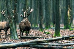 Αρσενικό ελάφι δύο κόκκινο ελαφιών στο αποβαλλόμενο δάσος με τους mossy κορμούς δέντρων Στοκ εικόνες με δικαίωμα ελεύθερης χρήσης