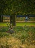 αρσενικό ελάφι πάρκων του  Στοκ φωτογραφία με δικαίωμα ελεύθερης χρήσης
