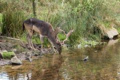 Αρσενικό ελάφι στο πάρκο Bradgate Στοκ Φωτογραφίες