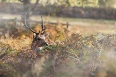 Αρσενικό ελάφι στο πάρκο Bradgate Στοκ εικόνα με δικαίωμα ελεύθερης χρήσης