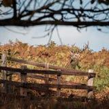 Αρσενικό ελάφι στο πάρκο Bradgate Στοκ Εικόνες