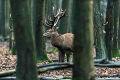 Αρσενικό ελάφι τριών κόκκινο ελαφιών μεταξύ των δέντρων στο δάσος Στοκ Εικόνες