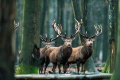 Αρσενικό ελάφι τριών κόκκινο ελαφιών που στέκεται μαζί στο δάσος Στοκ φωτογραφία με δικαίωμα ελεύθερης χρήσης