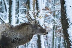 αρσενικό ελάφι 2 Στοκ φωτογραφία με δικαίωμα ελεύθερης χρήσης