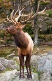 αρσενικό ελαφιών Στοκ εικόνα με δικαίωμα ελεύθερης χρήσης