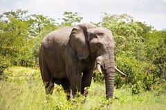 αρσενικό ελεφάντων στοκ φωτογραφία με δικαίωμα ελεύθερης χρήσης