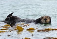 Αρσενικό ενυδρίδων θάλασσας kelp μια coldy βροχερή ημέρα, μεγάλο sur, Καλιφόρνια στοκ φωτογραφία με δικαίωμα ελεύθερης χρήσης