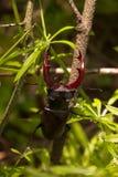 Αρσενικό ελάφι κανθάρων Στοκ φωτογραφίες με δικαίωμα ελεύθερης χρήσης