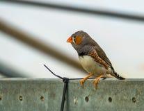 Αρσενικό ζέβες finch σε ένα κλουβί, δημοφιλές κατοικίδιο ζώο στην πτηνοτροφία, τροπικό πουλί από την Αυστραλία στοκ φωτογραφίες με δικαίωμα ελεύθερης χρήσης
