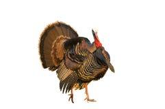 Αρσενικό (ζώο) της Τουρκίας Στοκ φωτογραφία με δικαίωμα ελεύθερης χρήσης