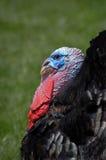 αρσενικό (ζώο) Τουρκία Στοκ εικόνες με δικαίωμα ελεύθερης χρήσης