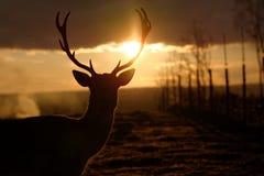 Αρσενικό ηλιοβασίλεμα ελαφιών αγραναπαύσεων Στοκ Φωτογραφίες