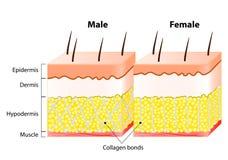 Αρσενικό θηλυκό δέρμα τελών Δομή και διαφορετικός διανυσματική απεικόνιση