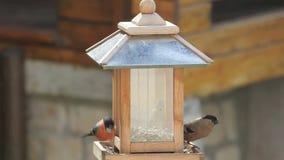 Αρσενικό, θηλυκό και αρχάριο Bullfinch σε έναν τροφοδότη πουλιών απόθεμα βίντεο