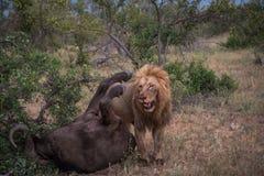 Αρσενικό λιοντάρι μετά από να σκοτώσει έναν βούβαλο Στοκ Εικόνες