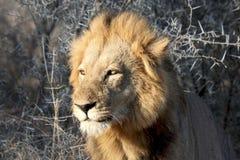Αρσενικό λιοντάρι με τον ήλιο στα μάτια στοκ εικόνες