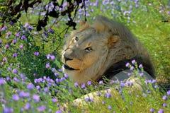 Αρσενικό λιοντάρι πορτρέτου και πράσινη χλόη με τα πορφυρά λουλούδια Στοκ Φωτογραφίες