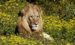 Αρσενικό λιοντάρι που βρίσκεται amoungst τα λουλούδια διάσημα βουνά kanonkop της Αφρικής κοντά στο γραφικό αμπελώνα νότιων άνοιξη Στοκ Φωτογραφίες