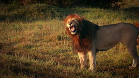 Αρσενικό λιοντάρι που βρυχείται με τα δόντια απόθεμα βίντεο