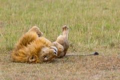 Αρσενικό λιοντάρι που κυλά στην πλάτη Στοκ φωτογραφίες με δικαίωμα ελεύθερης χρήσης