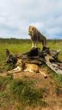 Αρσενικό λιοντάρι που στέκεται στο κολόβωμα δέντρων με τη λιονταρίνα που βρίσκεται στη χλόη Στοκ Εικόνες