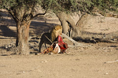 Αρσενικό λιοντάρι που τρώει έναν θάνατο Oryx Στοκ Εικόνες