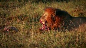 Αρσενικό λιοντάρι που τρώει το θήραμα απόθεμα βίντεο
