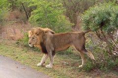 Αρσενικό λιοντάρι που χαρακτηρίζει το έδαφός του στοκ φωτογραφία με δικαίωμα ελεύθερης χρήσης