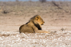 Αρσενικό λιοντάρι Στοκ εικόνα με δικαίωμα ελεύθερης χρήσης