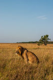 Αρσενικό λιοντάρι Στοκ Εικόνα