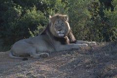 Αρσενικό λιοντάρι Στοκ φωτογραφία με δικαίωμα ελεύθερης χρήσης