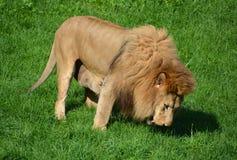 Αρσενικό λιοντάρι Στοκ φωτογραφίες με δικαίωμα ελεύθερης χρήσης