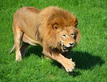Αρσενικό λιοντάρι Στοκ Εικόνες