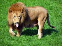 Αρσενικό λιοντάρι Στοκ εικόνες με δικαίωμα ελεύθερης χρήσης