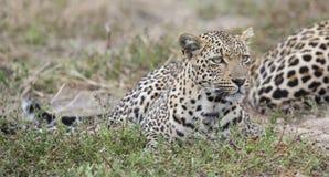 Αρσενικό και θηλυκό υπόλοιπο λεοπαρδάλεων μετά από να ζευγαρώσει στη φύση στοκ φωτογραφία