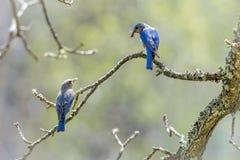 Αρσενικό και θηλυκό Bluebirds με τα έντομα για τις νεολαίες στοκ φωτογραφία