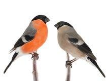 Αρσενικό και θηλυκό bullfinch Στοκ εικόνες με δικαίωμα ελεύθερης χρήσης