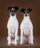 Αρσενικό και θηλυκό Ratdog Στοκ εικόνες με δικαίωμα ελεύθερης χρήσης