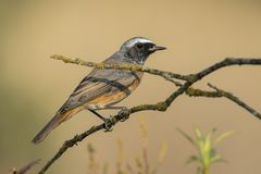 Αρσενικό κοινό phoenicurus Redstart Phoenicurus στοκ φωτογραφία με δικαίωμα ελεύθερης χρήσης