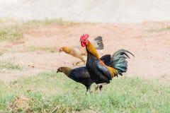 Αρσενικό κοτόπουλο κοκκόρων σε ένα υπόβαθρο φύσης Στοκ φωτογραφία με δικαίωμα ελεύθερης χρήσης