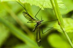 Αρσενικό κουνούπι Στοκ Φωτογραφία